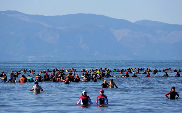 Volunteers try to guide some of the stranded pilot whales still alive back out to sea after one of the country's largest recorded mass whale strandings, in Golden Bay, at the top of New Zealand's South Island, February 11, 2017. (Photo by Anthony Phelps/Reuters)
