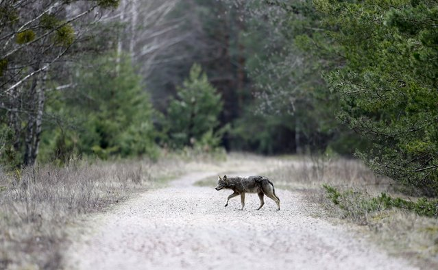 A wolf crosses a road in a forest in the 30 km (19 miles) exclusion zone around the Chernobyl nuclear reactor near the abandoned village of Dronki, Belarus, April 2, 2016. (Photo by Vasily Fedosenko/Reuters)