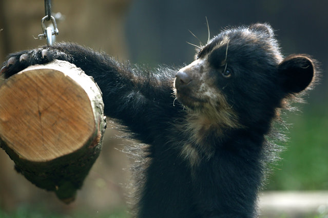 A baby spectacled bear plays in its enclosure at the zoo in Duisburg, western Germany, on March 31, 2014. In the wild, spectacled bears live in South America. (Photo by Roland Weihrauch/AFP Photo/DPA)