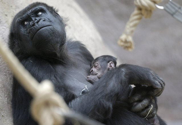24-years old gorilla Shinda holds her newborn baby at the Zoo in Prague, Czech Republic, Sunday, April 24, 2016. Shinda gave a birth to her first child on April 23, 2016 and the baby is yet to be named. It was an unexpected birth that took everyone at the Prague zoo by surprise. Nobody noticed that 24-year-old gorilla Shinda – who is a bit overweight – was pregnant. After several miscarriages, she was expected to remain childless. (Photo by Petr David Josek/AP Photo)