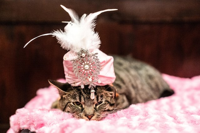 "Sakie wears a turban at backstage before the Algonquin Hotel's Annual Cat Fashion Show in the Manhattan borough of New York City, New York, U.S., August 1, 2019. Ten ""mewdels"" hit the catwalk at the annual show to raise awareness for animal rescue and adoption. (Photo by Jeenah Moon/Reuters)"