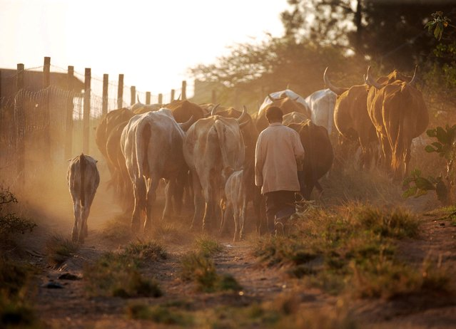 A man herds cattle in Cato Ridge, South Africa, July 28, 2019. (Photo by Rogan Ward/Reuters)