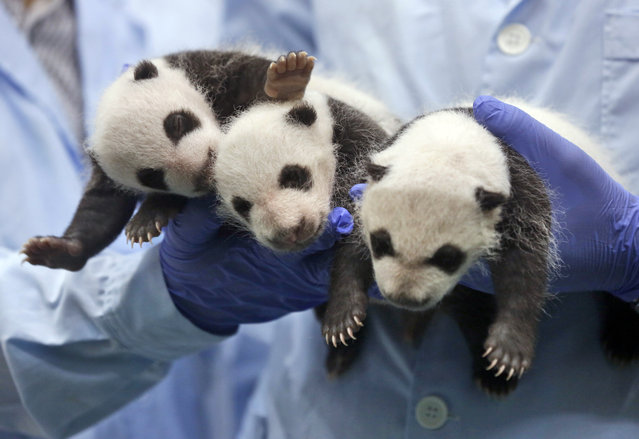 In this August 28, 2014, file photo, one-month-old triplet panda cubs receive body checks at the Chimelong Safari Park in Guangzhou in south China's Guangdong province when China announced the birth of extremely rare panda triplets in another success for the country's artificial breeding program. China is planning to create a preserve for the giant panda that will be three times the size of Yellowstone National Park in the western U.S. The Xinhua News Agency says the panda preserve will incorporate parts of three western provinces to provide an unbroken range for the endangered animals in which they can meet and mate in the interests of enriching their gene pool. (Photo by Kin Cheung/AP Photo)