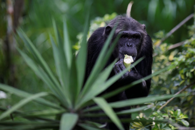 A chimpanzee, donated by Sweden's Kolmarden Wildlife Park, eats a corn cob at its new enclosure at the Aurora zoo in Guatemala City, Guatemala, May 24, 2016. (Photo by Saul Martinez/Reuters)