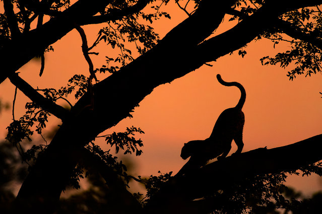 """""""Shadowgraphs"""". A female leopard resting on a tree branch in Kwai. Photo location: Kwai, Okavango Delta, Botswana. (Photo and caption by Chris Schmid/National Geographic Photo Contest)"""