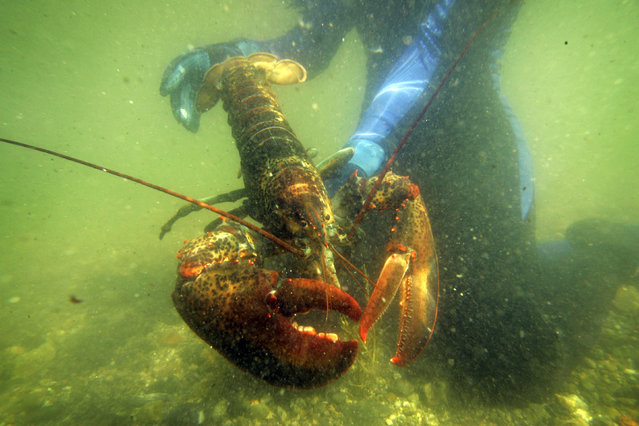In this July 2007, file photo, a scientist holds a lobster underwater on Friendship Long Island, Maine. Maine's governor says the European Union should deny a push from the Swedish government to have American lobster listed as an invasive species. Sweden has asked the European Union in March 2016 to bar imports of live American lobsters into the 28-nation bloc after 32 American lobsters were found in Swedish waters. (Photo by Robert F. Bukaty/AP Photo)