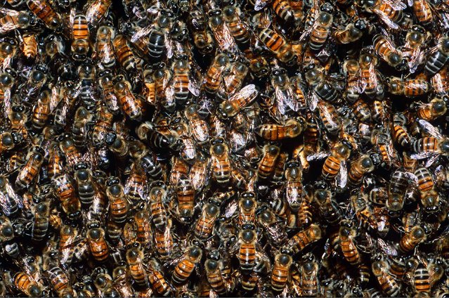 A mass of honeybees. (Photo by M. Watson/Ardea/Caters News)