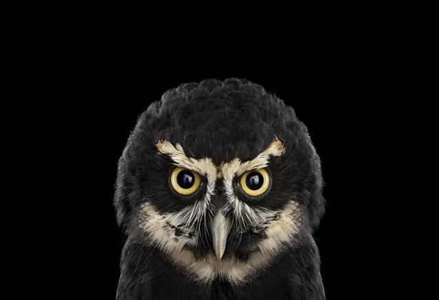 Spectacled owl. (Photo by Brad Wilson)