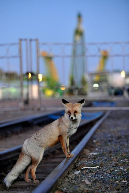 A fox crosses a railroad track before the Soyuz TMA-06M spaceship transportation at a launch pad (background) at the Russian leased Kazakh Baikonur cosmodrome, on October 21, 2012. The launch of the next ISS crew including US astronaut  Kevin Ford, Russian cosmonauts, Oleg Novitskiy and Evgeny Tarelkin was scheduled on October 23. (Photo by Vyacheslav Oseledko/AFP)