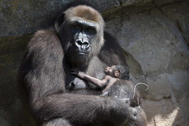 Ten-year-old Gorilla Nalani holds her baby in her enclosure at Bioparc zoo in Valencia, eastern Spain, 18 August 2016.  Nalani gave birth on 17 August. (Photo by Kai Foersterling/EPA)