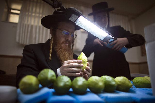 An ultra-Orthodox Jewish man checks etrogs, citrus fruits, for blemishes at a synagogue in Jerusalem's Mea Shearim neighbourhood October 7, 2014. Etrogs are used in rituals during the Jewish holiday of Sukkot, which begins at sundown Wednesday. (Photo by Ronen Zvulun/Reuters)