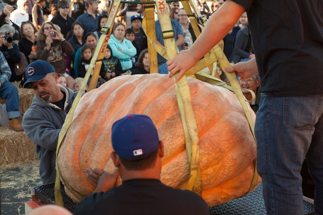John Furtado of Half Moon Bay, left, helps weigh pumpkins early in the day at the 41st Annual Safeway World Championship Pumpkin Weigh-Off in Half Moon Bay, Calif., Monday, October 13, 2014. Weigh-off pumpkins are usually planted in April. (Photo by Alex Washburn/AP Photo)