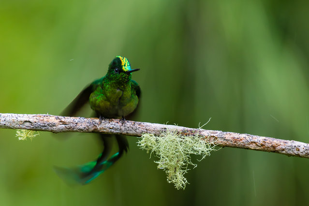 Individuals and populations student winner: Leejiah Dorward. A long-tailed sylph shakes off rain drops after a tropical shower in Colombia. (Photo by Leejiah Dorward/University of Oxford/British Ecological Society)