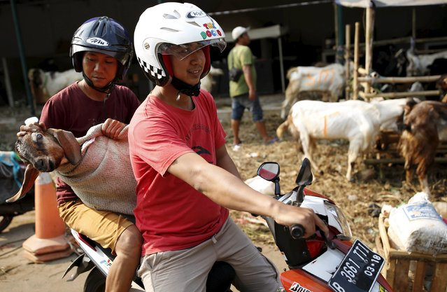 Men use a motorcycle to deliver a goat to a customer from a makeshift livestock market ahead of the Eid al-Adha festival in Jakarta September 22, 2015. (Photo by Darren Whiteside/Reuters)