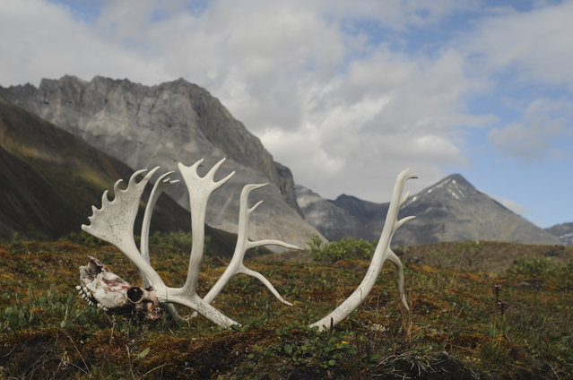 In this August 1, 2014 photo provided by the National Park Service are male caribou antlers in the Oolah Valley, likely the result of a grizzly kill as he migrated south for the winter at the Arctic National Park and Preserve in Alaska. The nation's northernmost national park says its new management plan will have to consider the effects of a new industrial road to the mining district of Ambler, the first road that would be constructed within its Maryland-sized boundaries. (Photo by Cadence Cook/AP Photo/National Park Service)