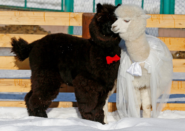 Young alpacas, male Romeo (L) and female Juliette, walk inside their open air enclosure as employees congratulate coupled animals on Valentine's Day at the Roev Ruchey Zoo in Krasnoyarsk, Russia February 14, 2017. (Photo by Ilya Naymushin/Reuters)