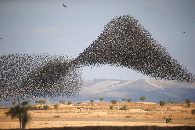 A murmuration of migrating starlings is seen across the sky near the village of Beit Kama in southern Israel on January 16, 2018. (Photo by Amir Cohen/Reuters)