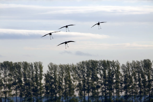 Cranes coming in to land near Linum, Brandenburg, Germany on October 11, 2020. (Photo by Simone Kuhlmey/Pacific Press/Rex Features/Shutterstock)