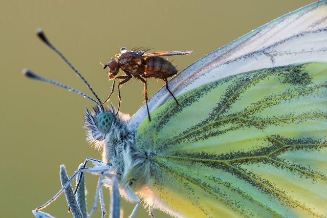 A fly rides a butterly, July 2016. (Photo by Petar Sabol Sharpeye/Rex Features/Shutterstock)