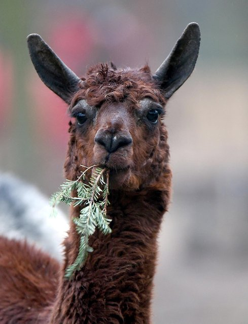 A lama eats a Christmas trees on December 31, 2014 in a zoo in Cologne. (Photo by Henning Kaiser/AFP Photo/DPA)