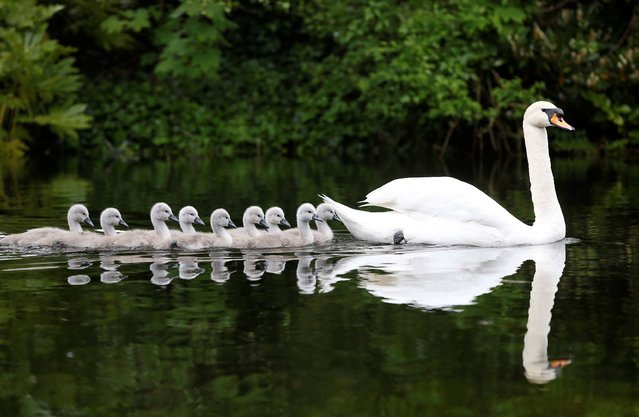 A parent Swan pictured here leading her Cygnets out for a paddle in the pond of St. Stephen's Green, Dublin, on May 30, 2013. (Photo by Robbie Reynolds)