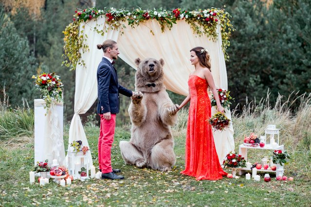 "Denis and Nelya, both 30, from Moscow, Russia invited brown bear Stepan along to their very special ceremony. As well as witnessing the couple exchange vows, the bear also played the role of registrar at one point. Denis said: ""We both knew Stepan is a very kind bear but still it is a huge, unpredictable animal so we were a bit scared, but still happy to be able to make our dream come true. It was a fantastic experience to have this photoshoot with Stepan"". (Photo by Olga Barantseva/Caters News)"