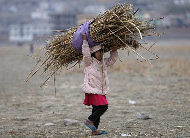 A girl carries on her head a pile of dried shrubs she gathered for cooking and heating, in Kabul, Afghanistan November 18, 2015. (Photo by Omar Sobhani/Reuters)