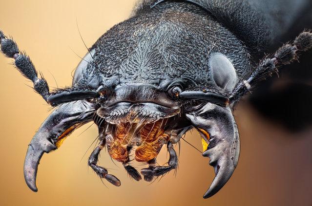 Studio stack: Devil's Coach Horse. Ocypus olens, Staphylinidae; Size: 27 mm. (John Hallmén)