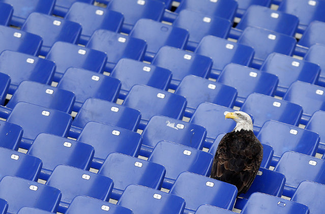 Lazio's mascot, a white headed eagle called Olimpia, lands in the stands before the start of the Italian Serie A soccer match against Napoli at the Olympic stadium in Rome January 18, 2015. (Photo by Alessandro Bianchi/Reuters)
