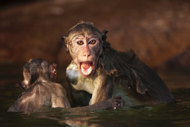 This excitable macaque pulled his friend's tail as they larked about on a lake during a play fight, on July 11, 2013. (Photo by Barney Wilczak/Photoshot/Solent News & Photo Agenc)