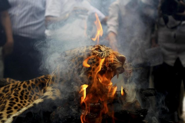 A leopard skin burns as Indian officials and activists burn wildlife contraband including tiger and leopard skins, and bones as part of a campaign to save the tiger in Mumbai, India, Tuesday, July 30, 2013. Despite conservation efforts, tiger numbers in India have declined due to rampant poaching of the cats for their valuable pelts and body parts that are highly prized in traditional Chinese medicine. (Photo by Rafiq Maqbool/AP Photo)