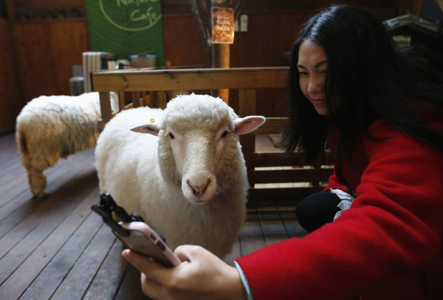 A woman takes a selfie with a sheep at a sheep cafe in Seoul February 6, 2015. (Photo by Kim Hong-Ji/Reuters)