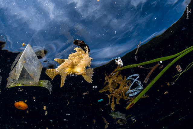 "Life among litter by Greg Lecoeur, France. Highly commended, Wildlife Photojournalist Award: Single Image. ""This Sargassumfish couldn't hide among the litter. The nearby frond of Sargassum seaweed was a far cry from the free-floating rafts of the seaweed that more normally shelter this frogfish and many other specialised species on the biodiverse reefs of the Indonesian archipelago of Raja Ampat. A master of camouflage and an ambush predator, the Sargassumfish stalks its prey on claw-like fins through the fronds of these floating islands, concealed by its tan colour and feathery outline"". (Photo by Greg Lecoeur/2018 Wildlife Photographer of the Year)"