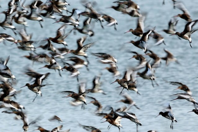 Godwit flock together seeking new feeding grounds during the incoming tide. (Photo by Dan Kitwood/Getty Images via The Palm Beach Post)