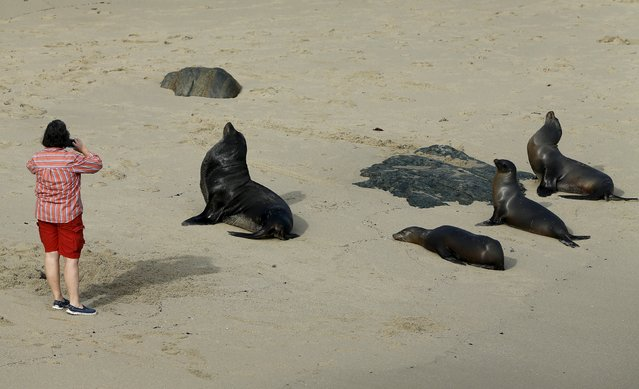 A tourist takes pictures of sea lions after they swam up onto the beach to lay in the sun in La Jolla, California January 20, 2016. (Photo by Mike Blake/Reuters)
