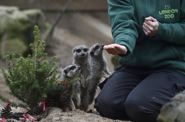 Meerkats eat Christmas treats in their enclosure at London Zoo, in London, Britain December 15, 2016. (Photo by Hannah McKay/Reuters)