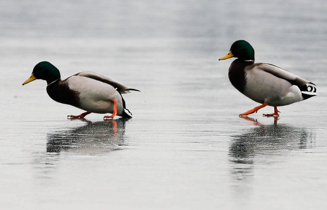 Ducks struggle to keep their balance on the frozen waters of the Idroscalo artificial lake, in Milan, Italy, Tuesday, January 10, 2017. Heavy snow and frigid temperatures have gripped large parts of Europe, leading to dozens of deaths, freezing rivers, the grounding of planes and traffic accidents. (Photo by Luca Bruno/AP Photo)