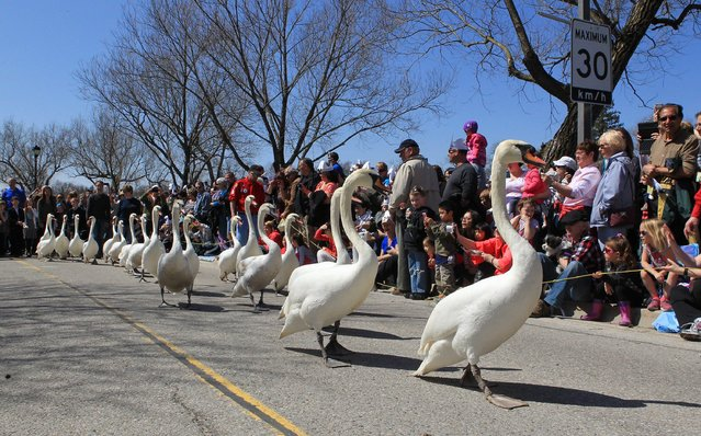 A flock of twenty swans and a few geese parade from their winter home to the Avon River in Stratford, Ontario, Sunday, April 12, 2015. Hundreds of people came to watch the annual spring swan parade. (Photo by Dave Chidley/The Canadian Press via AP Photo)
