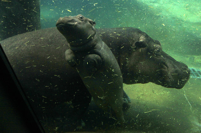 A baby hippo swims under the water near its mother Maruska in their enclosure at Prague Zoo, Czech Republic, February 24, 2016. (Photo by David W. Cerny/Reuters)