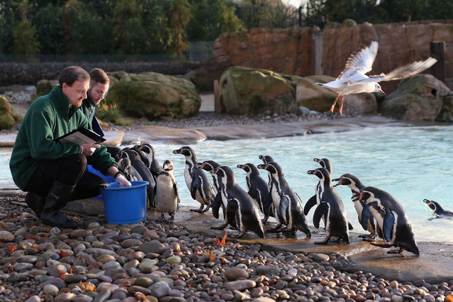 Keepers record the number of penguins during ZSL London Zoo's annual stocktake of animals on January 2, 2014 in London, England. The zoo's annual stocktake requires keepers to check on the numbers of every one of the 800 different animals species held, including every invertebrate, bird, fish, mammal, reptile, and amphibian.  (Photo by Oli Scarff/Getty Images)