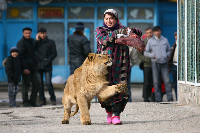 Zukhro, an employee of the city zoo, walks with Vadik, an 18-month-old male lion, at the zoo in Dushanbe, Tajikistan January 20, 2011. Employees take the lion from its cage for a walk on the zoo grounds two times a week while holding a piece of meat to keep Vadik's attention. (Photo by Nozim Kalandarov/Reuters)