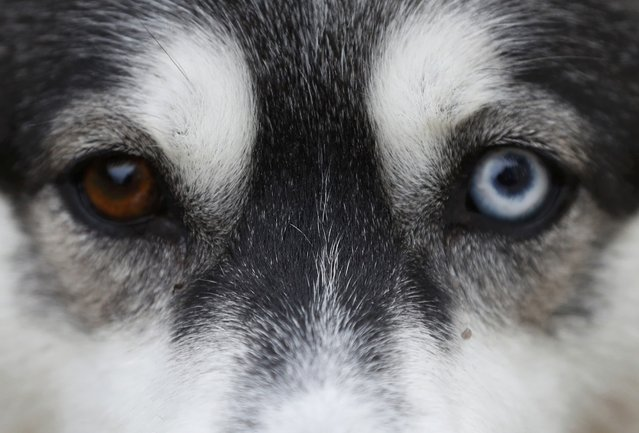 A Husky dog waits to run during practice for the Aviemore Sled Dog Rally in Feshiebridge, Scotland, Britain January 24, 2017. (Photo by Russell Cheyne/Reuters)