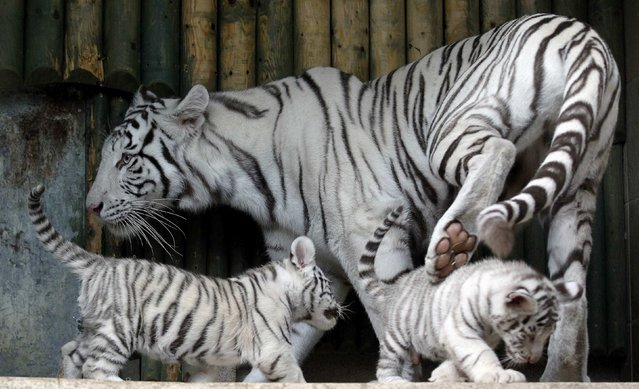 An Indian white tiger mother named Suraya Bara takes care of her cubs at the zoo of Liberec, September 8, 2012. Three rare white tigers were born here on July 1, 2012. (Photo by Petr Josek/Reuters)