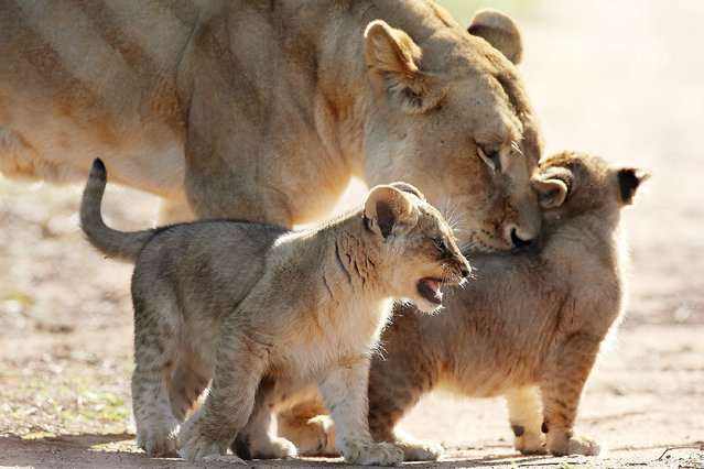 Lion cubs explore their enclosure at Monarto Zoo under the watchful eye of a female lion on July 8, 2013 in Adelaide, Australia. (Photo by Morne de Klerk/Getty Images)