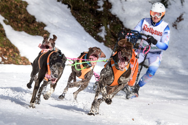 Dogs pull a competitor's sled during the 2017 International Dog Sled Races on January 28, 2017 in Todtmoos, Germany. Over 100 mushers are competing in the two-day race deep in the Black Forest. (Photo by Thomas Lohnes/Getty Images)