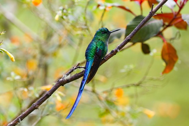 A hummingbird is seen as hundreds of bird species can be observed near Manizales, Colombia, on September 25, 2021. The region has become a great place that attracts bird watchers. Warm climate as well as cold climate birds could be found in the same area. (Photo by Juan David Moreno Gallego/Anadolu Agency via Getty Images)