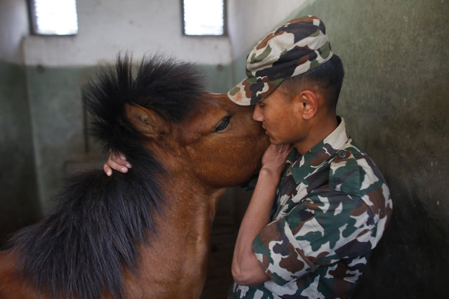 In this April 3, 2019, photo, a Nepalese army soldier bonds with a horse at the Nepal cavalry stable before the Ghode Jatra festival in Kathmandu, Nepal. (Photo by Niranjan Shrestha/AP Photo)
