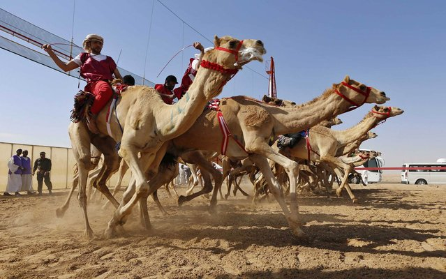 Jockeys compete on their mounts during a camel race, organized as part of the Sultan Bin Zayed Heritage Festival, in Al Ain February 14, 2014. (Photo by Saleh Salem/Reuters)
