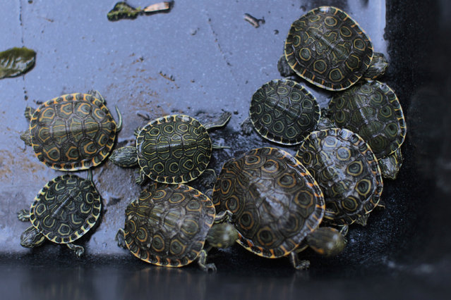Terrapins are seen during a news conference in San Salvador, El Salvador October 29, 2014. More than 90 turtles, monkeys and parrots were found in plastic bags inside a dumpster, ready to be smuggled into Salvadorean territory. (Photo by Jose Cabezas/Reuters)