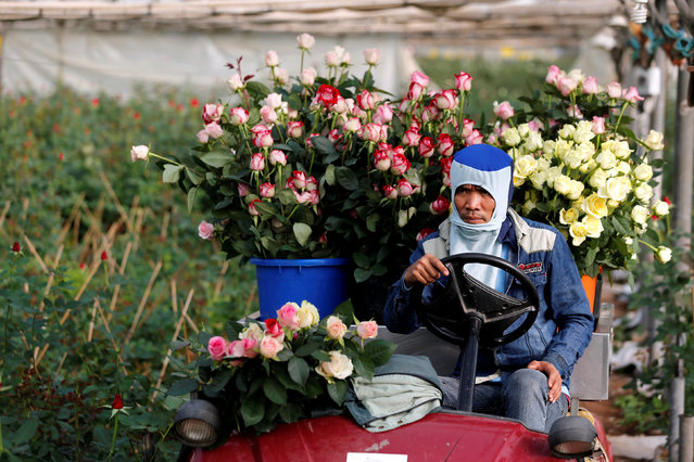 A foreign labourer from Thailand transports freshly picked roses, intended for sale for Valentine's Day, at a greenhouse in Moshav Berekhya, southern Israel February 13, 2017. (Photo by Amir Cohen/Reuters)
